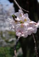 Sakura-
